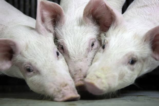 Danske svineproducenter brugte mere antibiotika i 2020 end året forinden. Kommende EU-lovgivning får sektordirektør til at tvivle på bedring.